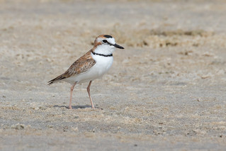 Collared Plover (Charadrius collaris)