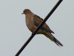 Mourning Dove (Dendroica cerulea) Tags: mourningdove zenaidamacroura zenaida columbidae columbiformes aves bird dove summer donaldsonpark highlandpark middlesexcounty nj newjersey