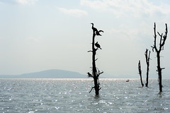 waiting for a fish to come by (Just me, Aline) Tags: 201808 alinevanweert kenia kenya naivasha safari wildlife lakenaivasha lake meer trees bomen kingfisher ijsvogel cormorant aalscholver silhouette pelican pelikaan