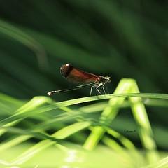 Calopteryx haemorrhoidalis.  Caballito del diablo de la familia Calopterygidae, se los conoce con los nombres comunes de Copper demoiselle y también por Mediterranean demoiselle. En este caso se trata de una hembra. (EMferrer) Tags: insecto libelulanegra wildlife libelula odonata libellulidae caballitodeldiablonegrohembra arthropod nature macroinsect naturaleza hexapoda macrodragonfly macrophotography vidanatural macrolibelula calopterygidae calopteryx anisoptera insecta bestdragonfly copperdemoiselle calopteryxhaemorrhoidalis caballitodiablo macrofoto mediterraneandemoiselle arthropoda dragonfly odonato