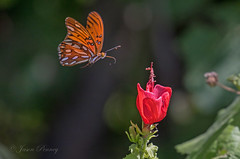 Coming in for lunch (J Centavo) Tags: gulf fritillary turks cap utopia texas