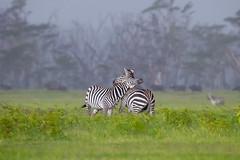 Zebras Necking (Mujtaba Hussain Shah) Tags: pairofzebras zebra zebras twozebras specanimal masaimara kenya africa africanwildlife wildlifephotography natgeoyourshot natgeo ngc npc zebrapair twins loveorwar stallion fighting africawildlife canon1dxmarkii supershot zebrapattern grasslands