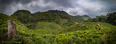 On the way to Nkuringo Gorilla Family, Bwindi Impenetrable Forest, Uganda (Catherine Gidzinska and Simon Gidzinski) Tags: 2017 africa eastafrica uganda gorillatrekking panorama tea teaplantation kisoro westernregion ug ngc dramaticsky