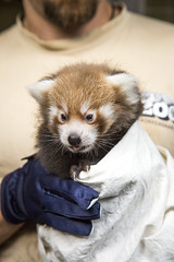 Red panda cub in vet's checkup (Korkeasaaren eläintarha) Tags: korkeasaareneläintarha eläintarha korkeasaari helsinkizoo animals zooanimalspikkupandared pandaailurus fulgens litenpanda cub