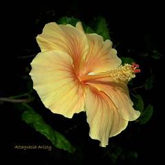 Hibisco/Hibiscus (Altagracia Aristy Sánchez) Tags: hbisco hibiscus cayena laromana quisqueya dominicanrepúblic américa antillas antilles trópico tropic caribe caribbean caraibbi altagraciaaristy fujifilmfinepixhs10 fujifinepixhs10 fujihs10 repúblicadominicana