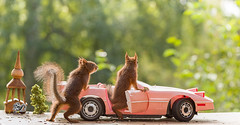 two young red squirrels in a pink car (Geert Weggen) Tags: humor car driving photography stationwagon animal loveemotion rodent backgrounds camping cheerful closeup colorimage cute environment horizontal landvehicle mammal nature nopeople oldfashioned outdoors puppy red retrostyle softness squirrel summer sweden transportation vanvehicle younganimal pink church young bispgården jämtland geert weggen ragunda hardeko