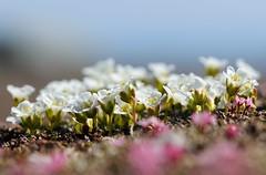 20180526-080P (m-klueber.de) Tags: 20180526080f 20180526 2018 mkbildkatalog skandinavischeflora flora nordeuropa nordisch pflanzenwelt pflanze europäische skandinavische skandinavien scandinavia schweden sweden sverige diapensiaceae diapensie diapensia lapponica heidekrautgewächse ericaceae loiseleuria procumbens alpenazalee alpenheide gamsheide gämsheide gemsheide jämtland härjedalen helagsfjäll torkilstöten ljungdalen 20180526080p portfolio bildauswahl