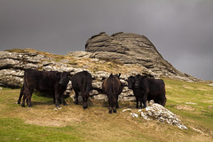 The curious case of 6 cows and the vanished people (Christian Hacker) Tags: haytor dartmoor nationalpark devon cattle cows granite stack rock outcrop foreboding greysky darksky sunlit contrast uk canon eos50d tamron 1750mm farming freeroaming moorland landscape meadow grass