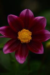 JJN_6325 (James J. Novotny) Tags: unlimitedphotos nikon d750 flowers flower gardens garden gardenbotanical chicago conservatory macro closeup