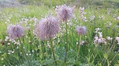 Swiss wildflowers (Strepto) Tags: glacier lorax mountains spectacular suess susten tree truffula switzerland