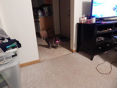 DSCN3248 (mestes76) Tags: 100617 duluth minnesota cats pets fetty fettucini cattoys laserpointer playing