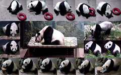 Tian (This is how I like to start my week: biscuits, sweet taters, more biscuits, and some boo–didn't fit in this collage, but believe me, it was good! Wash it all down with some water and finish it off with an apple. Yum!) 2018-09-02 at 8.34.08–9.08.51AM (MyFoto:)) Tags: ccncby panda endangered vulnerable tiantian smithsonian nationalzoo climbing drinking eating apple biscuit sweetpotato water