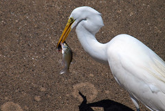 The Mighty Fisherman (Kaptured by Kala) Tags: greategret ardeaalba egret aquatic aquaticbird waterfowl whiterocklake dallastexas lowerspillwaysteps fishing fish catchingfish closeup belowme mchrysopsmsaxatilis hybridstripedbass newspeciesforme freshwaterfish