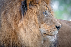 Looking Back (helenehoffman) Tags: pantheraleo lion felidae sandiegozoosafaripark bigcat mammal cat lioncamp africa carnivore izu animal specanimal coth alittlebeauty coth5
