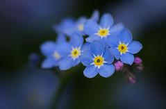 Vergissmeinnicht (rene.schlinkmann) Tags: vergissmeinnicht forgetmenot spring frühling flower blume natur nature makro macro