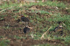 Greater Painted Snipe (भेंडलावा) - Rostratula benghalensis (jhureley1977) Tags: greaterpaintedsnipe भेंडलावा rostratulabenghalensis birds birdsofindia birdsindia birding indiabirding2018 ashjhureley avibase naturesvoice bbcspringwatch rspbbirders orientbirdclub ashutoshjhureley rspb jabalpur jabalpurbirds