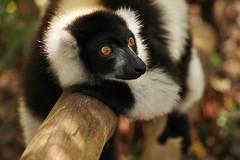 IMG_0199 Black-and-white ruffed lemur (Varecia variegata) (Kalina1966) Tags: madagascar animals lemur naturethroughthelens coth5