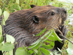 """Tickling...scratching.....""""lunch-break... (irio.jyske) Tags: nature naturepictures naturephotograph naturephoto naturepic naturescape naturephotos naturephotographer naturepics natural animal beaver leaves tickle scratch lunchbreak scrabe nice fellow pond lake water"""