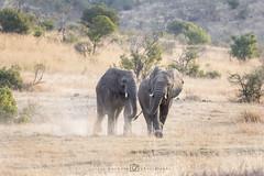 Afrikaanse olifanten - Loxodonta (rinus64) Tags: afrikaanseolifant loxodonta d500 nikon pilanesbergnationalpark southafrica zuidafrika elephant