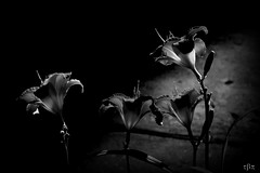 streetlamp serenade ~ monochrome (milomingo) Tags: nature flower lily daylily petal bloom blossom floral flora botanical horticulture garden contrast light dark sidewalk vignette backlight night nightshot multiple photoart monochrome blackandwhite blackwhite vivid shadow plant outdoor bwmaniacv2