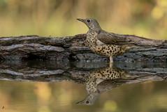 Misteldrossel (Turdus viscivorus) (normen.nikon) Tags: nikon d500 200500 wildlife bird vogel tier wild natur drossel