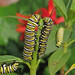 Monarch caterpillars galore!