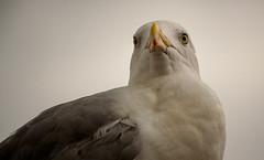Ich habe den Überblick. (gebi777) Tags: silbermöwe vögel küste wasser hafen ankerplatz