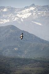 ElCondorPasa (qusco94) Tags: condor inti andes coya montaña fauna chile