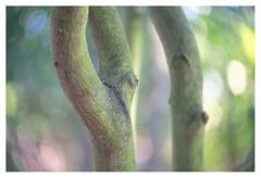 Whispering stems (leo.roos) Tags: branch tak tree stam stem trunk boom a7 iscogöttingenduotar8515 projectorlens projectionlens darosa leoroos