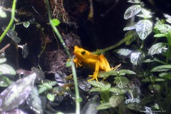 Golden Frog (facebookfriends79) Tags: goldenfrog frog frogs photography nikond3200 colorado