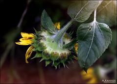 Mostly Gone... (angelakanner) Tags: canon70d lensbaby velvet56 sunflower garden longisland closeup