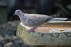 New Guy On The Block (ACEZandEIGHTZ) Tags: eurasian collareddove streptopelia decaocto backyard birdwatcher nikon d3200 avian gray birdbath bokeh coth coth5 sunray5