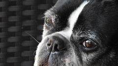 DSCN5340_01 (lalondepelletier) Tags: boston terrier nikon coolpix p900 chien dog