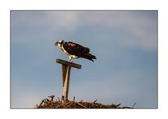 Anticipation (JohnKuriyan) Tags: falmouth massachusetts osprey
