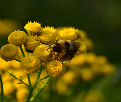 DR8_4811 (drafiei1) Tags: honey bee bees beeflowersflowernaturenaturephotographymacromacro photographynikonnikon 2470close up