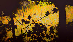 Through the Woods (Raggedjack1) Tags: trees latesummer silhouette woods crops sycamore