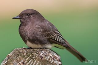 Juvenile Black Phoebe (Sayornis nigricans)