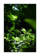 2018/8/15 - 2/3 photo by shin ikegami. - SONY ILCE‑7M2 / New Jupiter 3+ 1.5/50 L39/M (shin ikegami) Tags: 紫陽花 sky 空 井の頭公園 吉祥寺 summer 夏 sony ilce7m2 sonyilce7m2 a7ii 50mm lomography lomoartlens newjupiter3 tokyo sonycamera photo photographer 単焦点 iso800 ndfilter light shadow 自然 nature 玉ボケ bokeh depthoffield naturephotography art photography japan earth asia