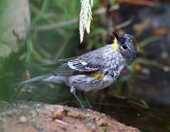 Yellow-rumped Warbler -- Juvenile (Dendroica coronata); Santa Fe National Forest, NM, Thompson Ridge [Lou Feltz] (deserttoad) Tags: wildlife nature newmexico mountain nationalforest desert bird wildbird warbler