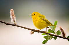 Yellow Warbler (Wes Aslin) Tags: setophagapetechia yellowwarbler abbotsford britishcolumbia canada