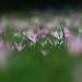 Colchiques dans les prés fleurissent, fleurissent...