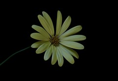 Daisy (Diane Marshman) Tags: daisy flower pale yellow color petals blackbackground tall garden pot container landscape plant macro closeup spring summer fall blooms blossoms nature flowers annual