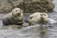 seals-7170 (pmbell64) Tags: capitalg britishcolumbia canada ca