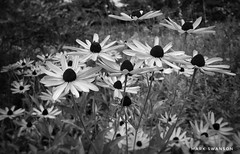 Coneflowers (mswan777) Tags: mobile iphone iphoneography apple ansel white black monochrome scenic detail plant petal michigan flower cone wildflower trail hike nature outdoor