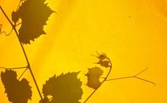 Autant en emporte l'auvent (Robert Saucier) Tags: feuilles leaves plant plante arbuste jaune yellow ombre shadow auvent montréal montreal img2109