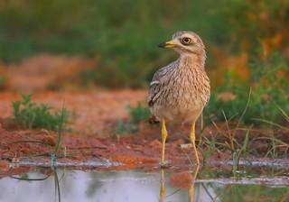 Alcaravão | Eurasian Stone-curlew (Burhinus oedicnemus)