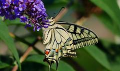 schmetterling-2-Rafz-20082018-16'45 (eduard43) Tags: schmetterling schwalbenschwanz butterfly swallowtail 2018