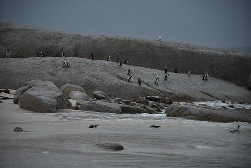 NKB_9287 penguin on the rocks