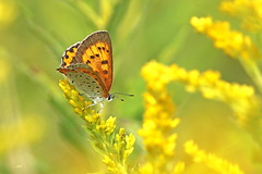 Vive le jaune! (alainmaire71) Tags: insect butterfly lycaenidae lepidoptera lépidoptère lycaenahyllus bronzé bronzecopper jaune yellow nature quebec canada bokeh