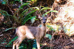 A Fawn in Muir Woods (Dajobe11) Tags: wildlife fujifilm xt2 california muir woods deer fawn forest trees